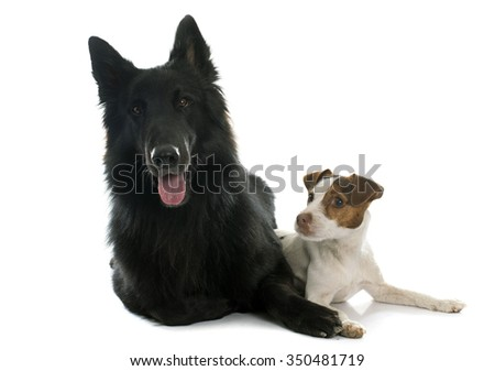 jack russel terrier and Groenendael in front of white background