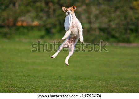Jack russel terrier catching frisbee in mid-air - stock photo