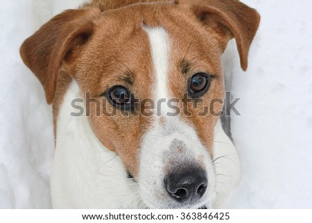 Jack Russel terrier closeup in the snow looking at the camera