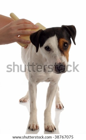 jack russel terrier dog being brushed or groomed - stock photo