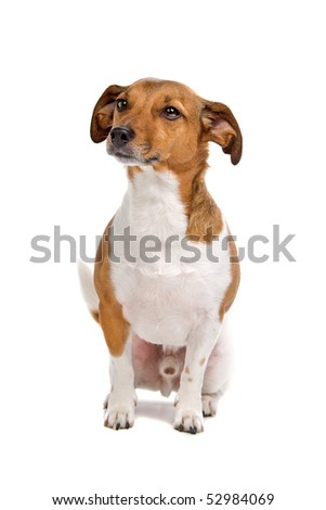jack russel terrier dog isolated on a white background