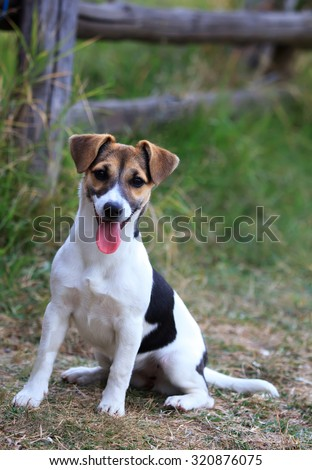 Jack Russel terrier dog portrait in autumn fields  - stock photo