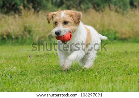 Jack Russel Terrier Dog puppy 6 months happy in the meadow - stock photo