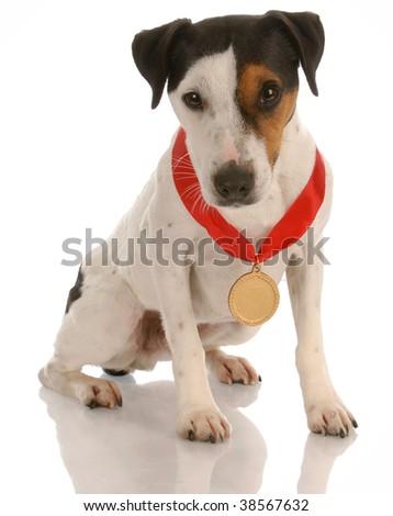 jack russel terrier dog sitting wearing prize winning medal - stock photo