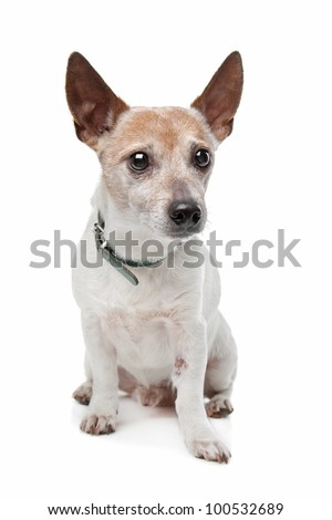 Jack Russel Terrier in front of a white background