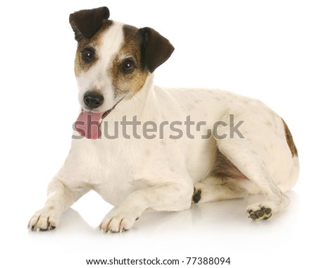 jack russel terrier laying down looking at viewer - stock photo