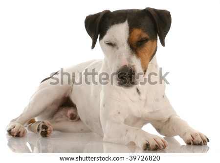 jack russel terrier laying down with eyes closed resting - stock photo