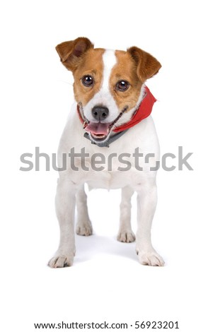 jack russel terrier looking happy, isolated on a white background - stock photo