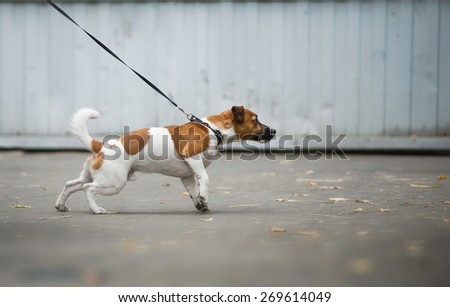 Jack russel terrier pulls the leash forward in a walk - stock photo