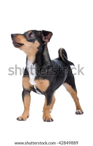 jack russel terrier pup isolated on a white background