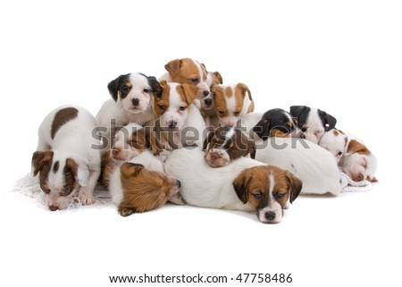 Jack russel terrier puppies isolated on a white background