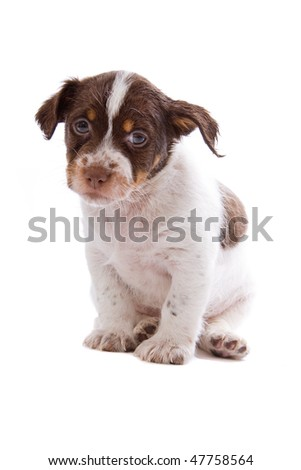 Jack russel terrier puppy dog  isolated on a white background