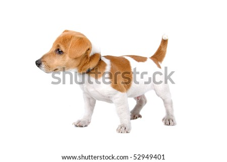 jack russel terrier puppy in front of a white background