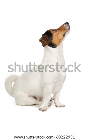 jack russel terrier puppy isolated on a white background - stock photo