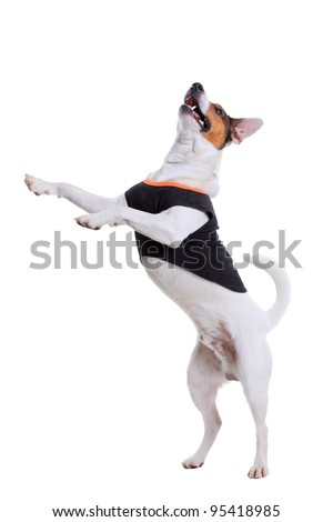 Jack Russel Terrier purebred dog isolated on white background - stock photo