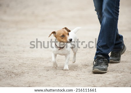 Jack russel terrier running near his owner legs - stock photo