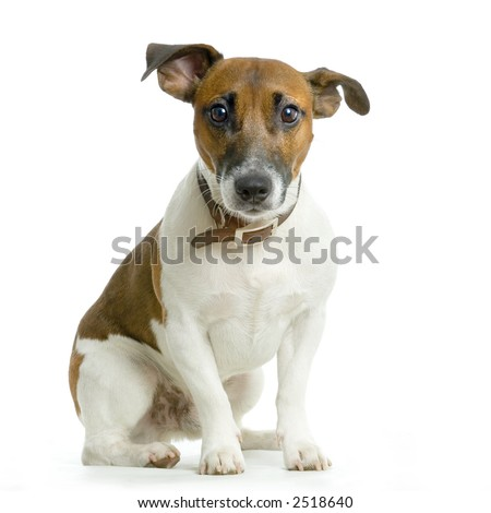 Jack russel terrier sitting in front of white background - stock photo