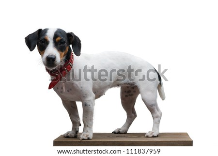Jack russel terrier studio shot, white background