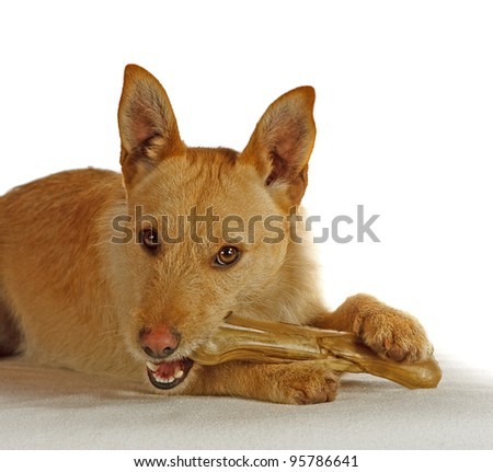 Jack Russel Terrier with a dog bone - stock photo