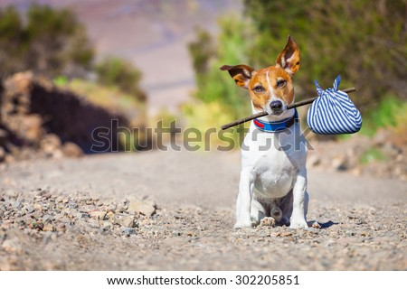 jack russell dog abandoned and left all alone on the road or street, with luggage bag  , begging to come home to owners, - stock photo