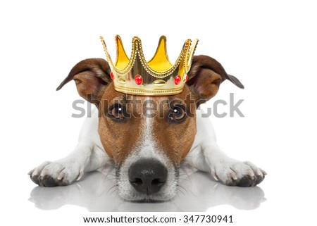 jack russell dog as king with crown  looking and staring  at you ,while lying on the ground or floor, isolated on white background - stock photo