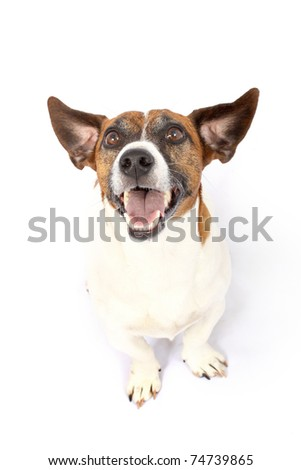 Jack Russell dog breed listening intently - stock photo