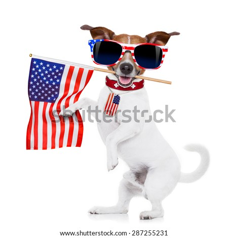 jack russell dog  holding a flag of usa on independence day on 4th  of july , with mouth , isolated on white background,, wearing american sunglasses - stock photo