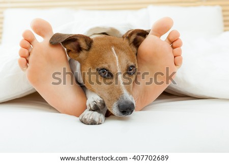 jack russell dog in bed  with owner close together and cuddling  - stock photo