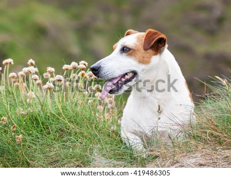 Jack Russell dog in profile sitting in grass