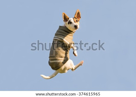 Jack Russell dog jumping up high in the air looking at the camera. A funny moment of a flying dog wearing winter clothes.   - stock photo