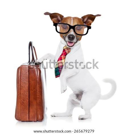 jack russell dog office worker with tie, black glasses holding a suitcase or bag luggage,  isolated on white background - stock photo