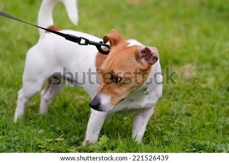 Jack Russell dog pulling on lead - stock photo