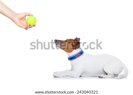 jack russell dog ready to play and have fun with owner and tennis ball toy , isolated on white background - stock photo