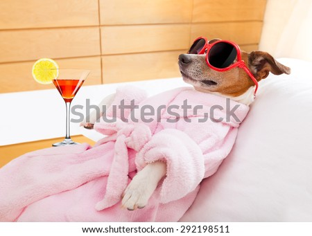 jack russell dog relaxing  and lying, in   spa wellness center ,wearing a  bathrobe and funny sunglasses , martini cocktail included - stock photo
