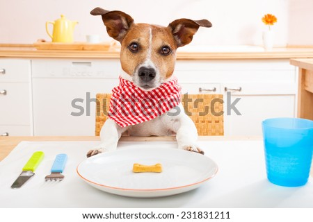 jack russell dog sitting at table ready to eat a an almost empty plate as a diet light meal, tablecloths included - stock photo