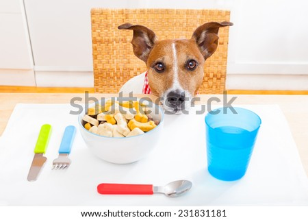 jack russell dog sitting at table ready to eat a full food bowl as a healthy meal, tablecloths included - stock photo