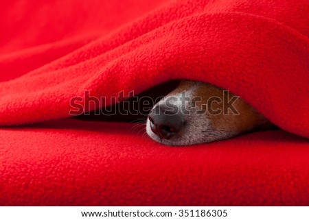jack russell dog  sleeping under the blanket in bed the  bedroom, ill ,sick or tired,  red sheet covering its face - stock photo