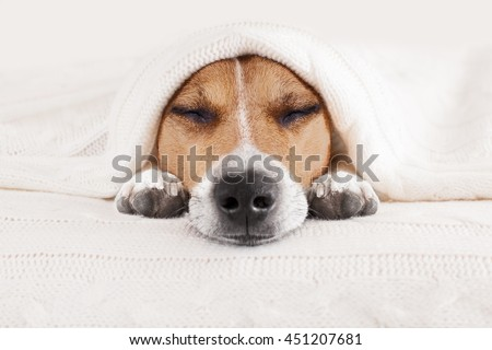 jack russell dog  sleeping under the blanket in bed the  bedroom,   ill ,sick or tired, sheet covering most of the face, eyes closed - stock photo