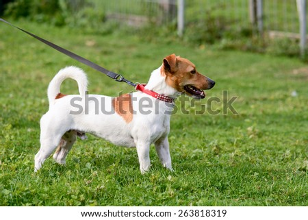 Jack Russell dog standing still  in park - stock photo