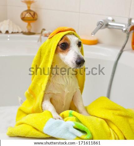 Jack Russell dog taking a bath in a bathtub - stock photo