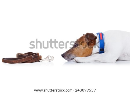 jack russell dog waiting to go for a walk with owner  , isolated on white background - stock photo