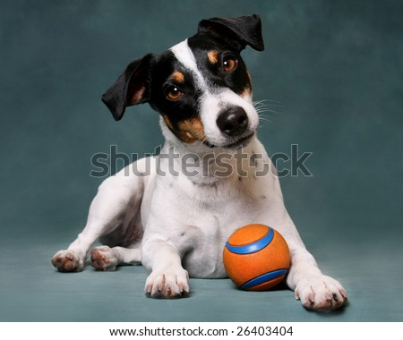 Jack Russell Dog with Toy Ball - stock photo