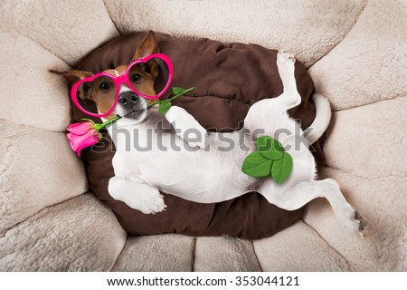 jack russell  dog  with valentines rose in mouth - stock photo