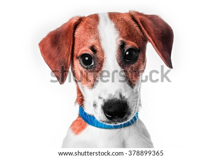 Jack Russell in a blue collar