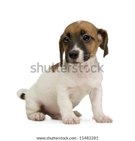 Jack russell () in front of a white background