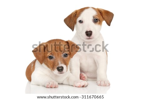 Jack Russell little puppies on white background - stock photo