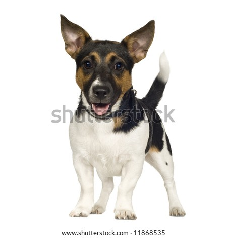 Jack russell (6 months) in front of a white background - stock photo
