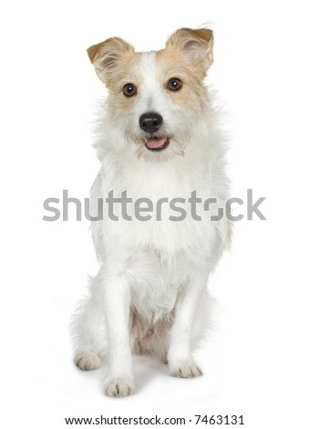 Jack russell (18 months) in front of a white background