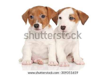 Jack Russell puppies on a white background - stock photo