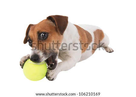 Jack Russell puppy gnawing tennis ball isolated on white background - stock photo